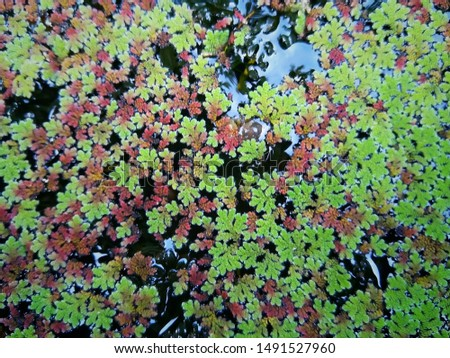 Top view and close up of Azolla fern (Mosquito fern, Water fern) for background #1491527960