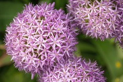 Top view and closeup of a purple ornamental onion (Allium) with the green undergrowth out of focus in the background.