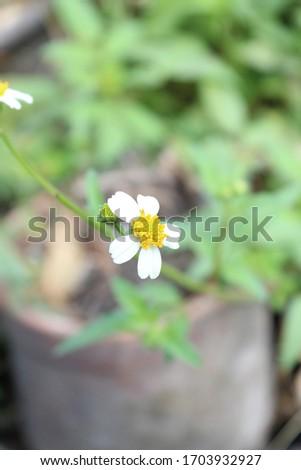 Top view Beautiful Jarum Spanyol or Bidens Alba Flowers selective focus with blur arround it Stock fotó ©