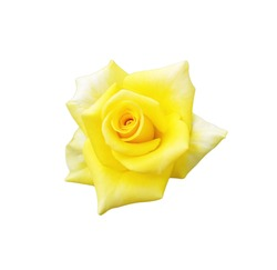 top view bloom yellow rose isolated on white background with clipping path. Yellow roses are flowers that imply that be a person with a mental heart or means joyful joy. soft focus and tone color