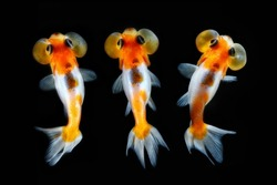 Top view bubbles goldfish on black background. Cute fishes in aquarium tank. Multi exposure image for background.