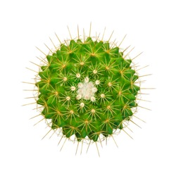 Top view cactus isolated on white background,Clipping Path ,Mammillaria