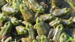 Top view close up of huddling green frogs in a pile with big round yellow eyes resting in the warm water of a pond on a beautiful sunny summer day