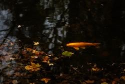 Top view colorful koi fish, gold carp swim in a pond with fallen autumn leaves, Loucen romantic baroque castle, Czech republic, November 17, 2020