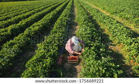 Top view farmer woman harvesting ripe strawberries in the field. Strawberry field.