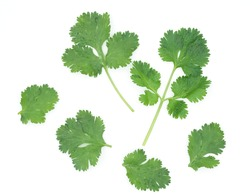 Top view fresh green coriander leaves and brach with water drop isolated on white background, Set of leaf coriander