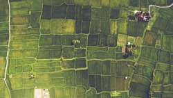 Top view from drone of the beautiful paddy fields with velvet green young sprouts in Balinese village. The traditional method for cultivating rice with flood the fields after setting young seedlings
