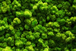 top view green moss for background texture close up.