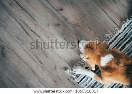 Top view image of Sad beagle dog peacefully sleeping on striped mat liying on laminate floor. Pets in cozy home concept image Photo stock ©