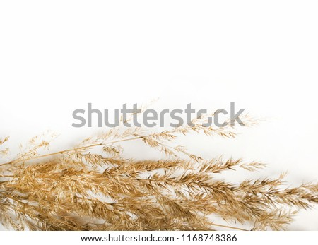 Top view isolated on white bulrush. Rye over white background. Autumn mock up with bulrushes with space for text