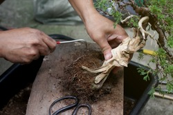 Top view Making bonsai trees, The process of scraping soil from the roots and Root pruning To prepare to change pots, Making of bonsai trees. Handmade accessories wire and scissor, Concept Bonsai tree