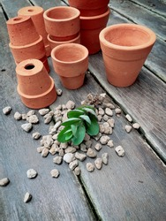Top view mini succulent Cactus Preparing for new pot : Kalanchoe laxiflora or milky widow's Thrill with bare roots with pumice stone and many multi size terracotta pots on wooden floor in the garden.