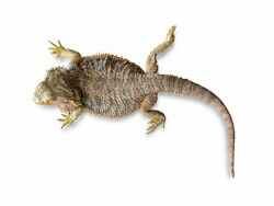 Top view of a Central bearded dragon lizard (Pogona vitticeps) isolated on white background.