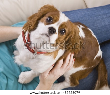 Top view of a dog seated on a woman's lap.  The dog is looking at the camera.  Horizontally framed shot.