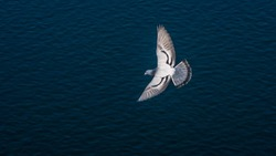 Top view of a domestic rock pigeon flying over the Nile river