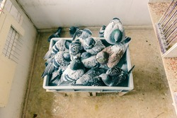 Top view of a group of homing pigeons bathing all together in a tray with water in their home loft