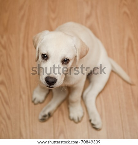 Top view of a labrador retriever puppy sitting on the floor - stock photo