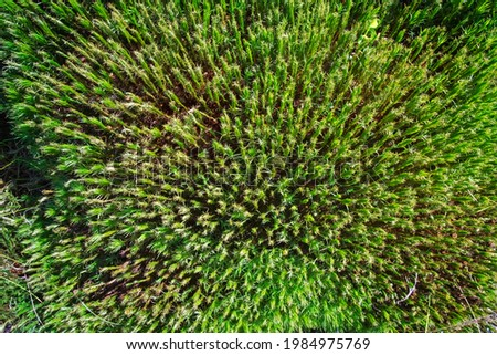 Top view of a lawn covered with a plant Polytrichum commune (also known as common haircap, great golden maidenhair, great goldilocks or common hair moss) Photo stock ©