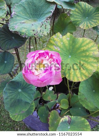 Stock Photo Top view of a lotus leaf with a pink flower. Green leafs lotus with water droplets.