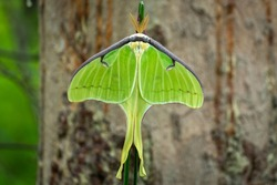 Top view of a Male Luna Moth (Actias luna). Raleigh, North Carolina.