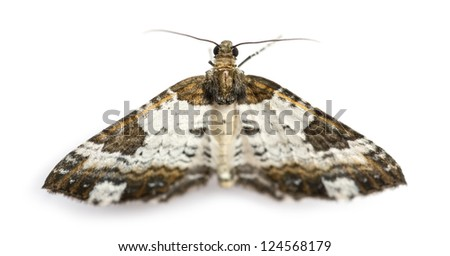Top view of a Pretty Chalk Carpet moth, Melanthia procellata, against white background