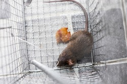 Top view of a rat in the trap metal case equipment of house to the protection of cleaning for people who live, copy space
