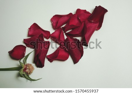 Top view of a rose stem without any petals and red petals scattered over a blue aqua pastel background.