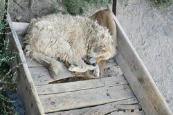 Top view of a stray, furry, dirty and tangled white dog sleeping comfortably in sackcloth on the floor of a broken wooden cart Dogs often curl up to provide warmth in winter.
