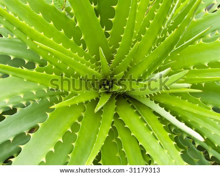 top view of a wide open aloe...