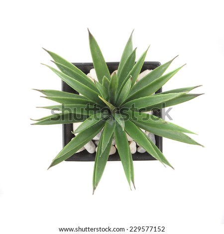 Top View of Agave in Pot isolated on white #229577152