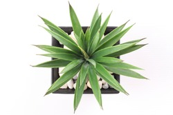 Top View of Agave in Pot isolated on white background