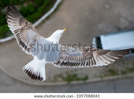 Top view of an young yellow-legged seagull flying with spreaded wings above a city parking lot.