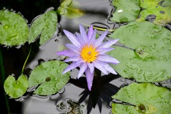 Top view of beautiful single bright purple Water Lily flower (Lotus flower), reflection in the water with green Lily Pads