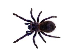 Top view of Brazilian blue tarantula aka Pterinopelma sazimai spider. Isolated on white background.