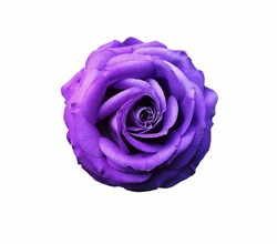 Top view of bright vivid purple flower isolated on white background,vibrant violet flower