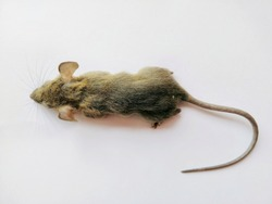 top view of brown rat isolated on white background