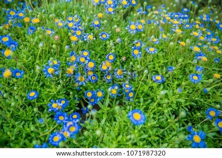 Top view of colorful small daisy flowers blooming in natural garden Stock photo ©