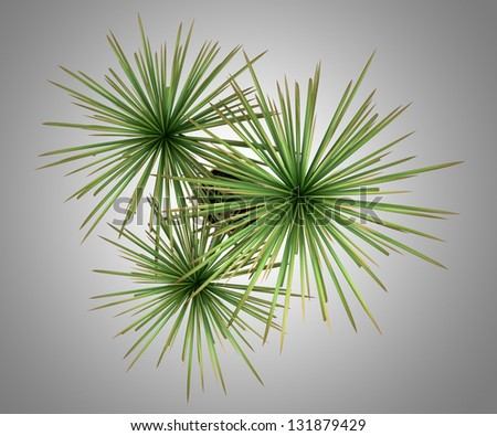 Plant Top View Top View of Dracaena Plant in
