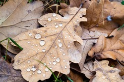 top view of dried oak leaf with raindrops close up on lawn after rain on autumn day