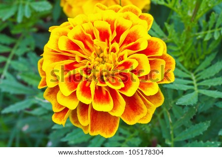Top view of French marigold flower (Tagetes patula L.)