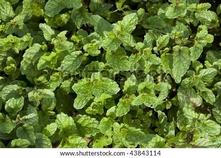 top view of freshly mint