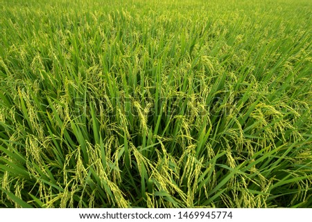 Top view of golden rice fields, rice fields with golden rice paddy fields, rice fields in Thailand #1469945774