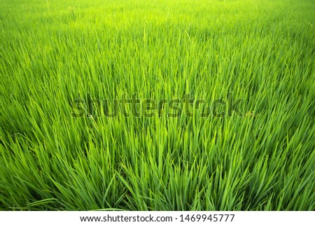 Top view of golden rice fields, rice fields with golden rice paddy fields, rice fields in Thailand