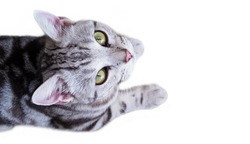Top view of gray cat with cute kitten baner isolated on white background with copy space for design.