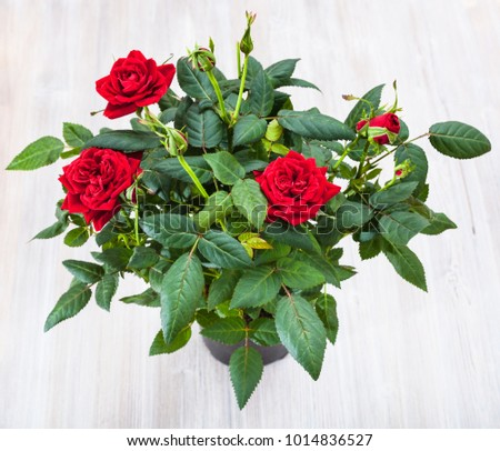 top view of green bush with fresh red rose flowers in pod on gray table #1014836527