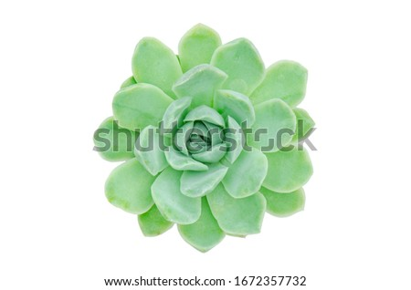 Top view of green Echeveria Mexican Snowball succulent plant white background Stock fotó ©