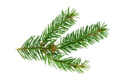 Top view of green fir tree spruce branch with needles isolated on white background