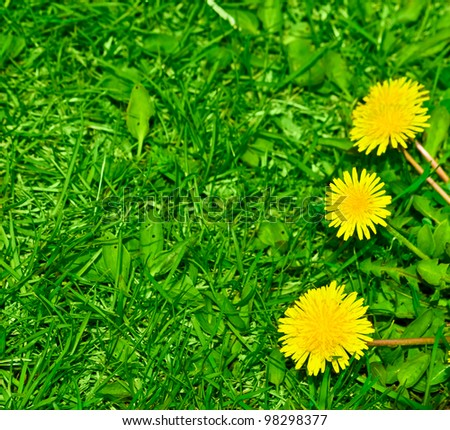 Top view of green grass and dandelion flowers background