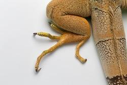 Top View of Green Iguana Leg on White Background