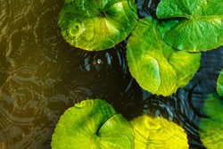 Top view of green lotus leaves with round crossing ripples of water drop , used for background , spa concept.